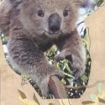 Maxwell---Koala